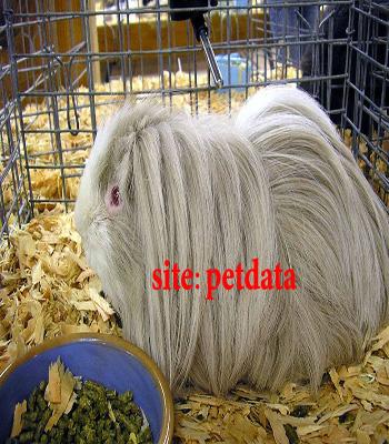 فروش خوکچه هندی | خرید وفروش خوکچه هندی