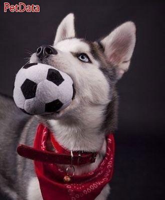 به مرکز فروش سگ هاسکي ايران خوش آمديد