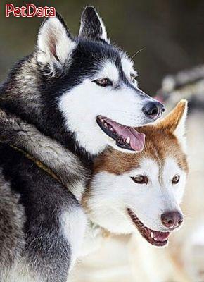 پرورش سگ هاسکي