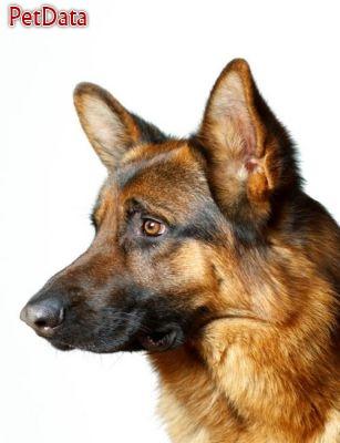 پرورش سگ ژرمن شپرد