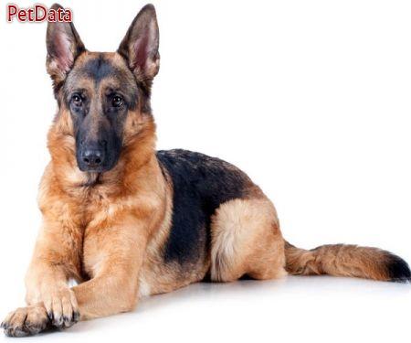 سگ نگهبان – سگ گارد