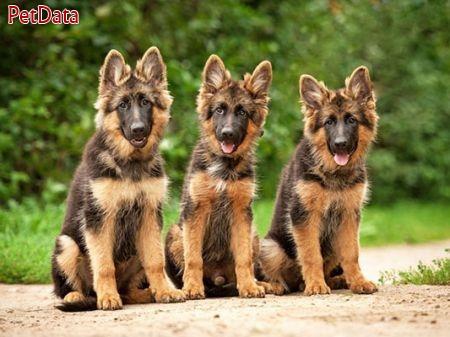 سگ نگهبان 09129321030