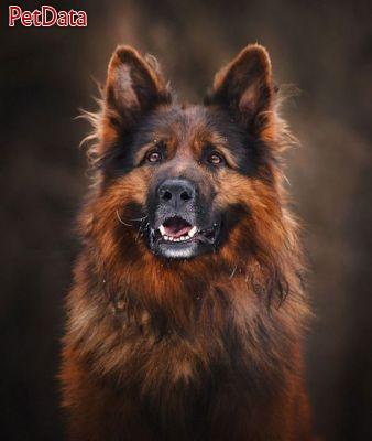 پرورش سگ ژرمن