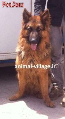 خريد و فروش ژرمن شپهرد موبلند - فروش سگ ژرمن شپهرد  09123609467- German Shepherd