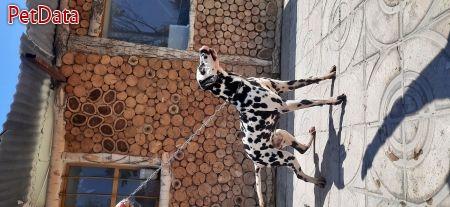 مرکز خريدوفروش سگهاي گارد ،  شکاري خريد فروش پرورش واردات خالص