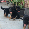 فروش توله سگ هاي ژرمن شپرد اصيل با قيمت استثنايي