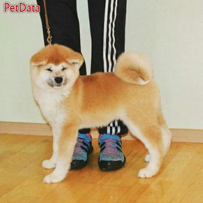 فروش ويژه توله آكيتا ژاپني - فروش سگ آكيتا