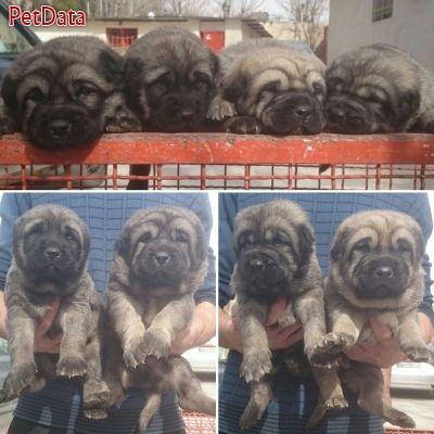 فروش ويژه توله سگ كرد پژدر - فروش سگ كردپژدر