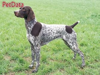 فروش ويژه توله پوينتر آلماني - فروش سگ پوينتر