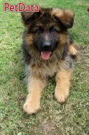 ژرمن شيفرد-سگ نگهبان