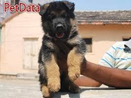 ژرمن شيفرد - سگ نگهبان