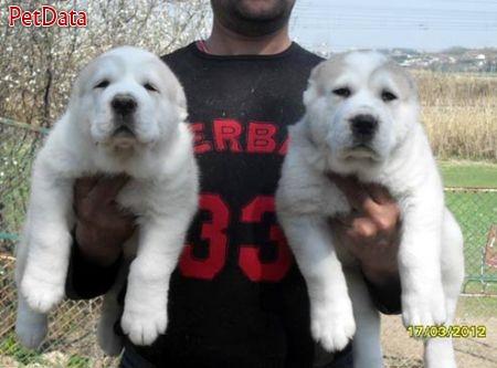 الاباي-سگ نگهبان