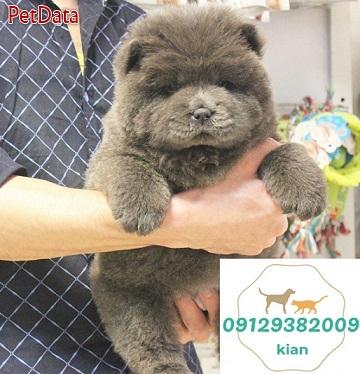 فروش توله چاوچاو -09129382009