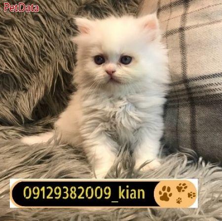 فروش بچه گربه پرشين-09129382009
