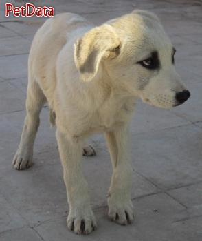 فروش سگ گلدن روتريور