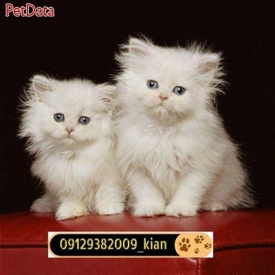 فروش-بچه-گربه-پرشين-کت