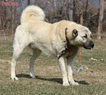 فروش سگ هاي کانگال از پدر و مادر بسيار بگير