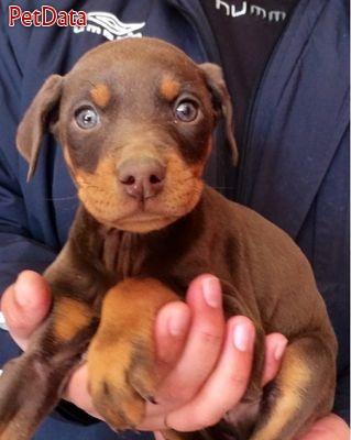 فروش تعداد محدود توله سگهاي دوبرمن اصيل تنها ۹۰۰ هزار تومان