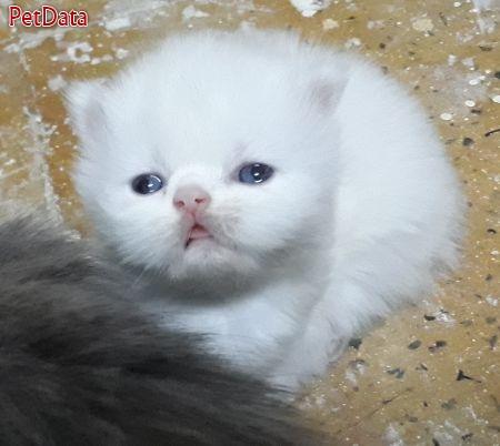 فروش بچه گربه پرشين به شرط دامپزشک مورد اعتماد شما
