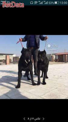 فروش انواع سگ در اسمارت داگ تمامي نژادها