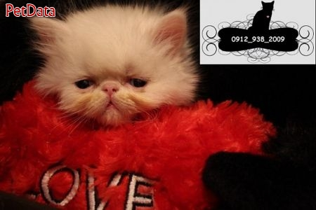 بچه گربه هاي پرشين-09129382009