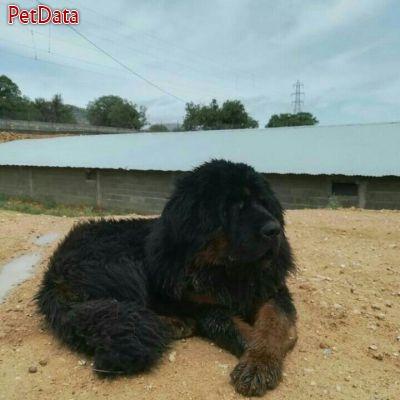 فروش سگ غول آساي تبت ماستيف