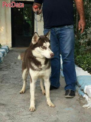 فروش انواع سگ هاسکي