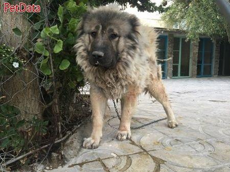 فروش سگ غول آساي قفقازي