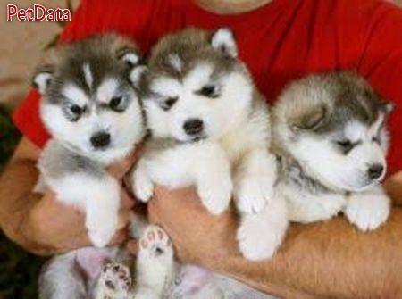 مرکز خريد و فروش سگ هاسکي ( توله وبالغ)