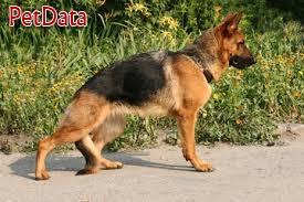 فروش سگ ژرمن ماده حرفه اي