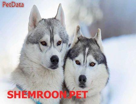 مرکز تکثير فروش سگ هاسکي 09125791947