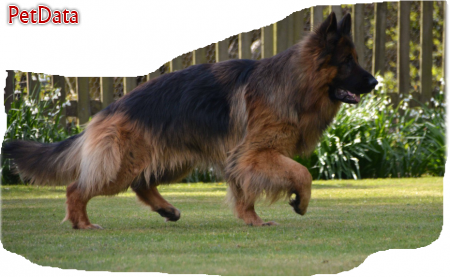 سگ ژرمن شولاين