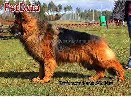 فروش سگ ژرمن شپرد موبلند حرفه اي