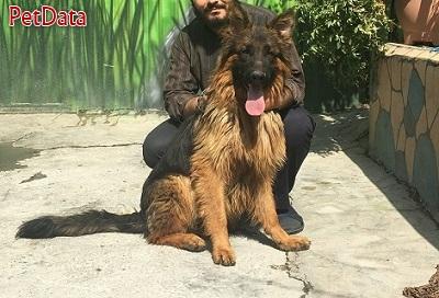 ژرمن سگ نگهبان باهوش