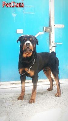 سگ هاي باديگارد شخصي و نگهبان( روتوايلر )