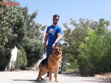 سگ ژرمن شپرد(showline & workline)