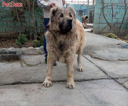 بهترين و فوق العاده ترين توله هاي سگ قفقاز
