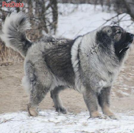 سگ قوي هيکل و درشت قفقاز غول پيکر