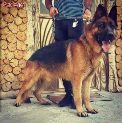سگ گارد