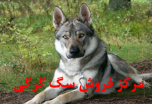 فروش سگ گرگی