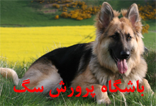 باشگاه پرورش سگ هاسکی  ژرمن