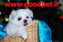 خرید و فروش سگ آپارتمانی