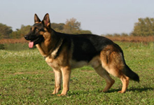 معرفی نژاد سگ ژرمن