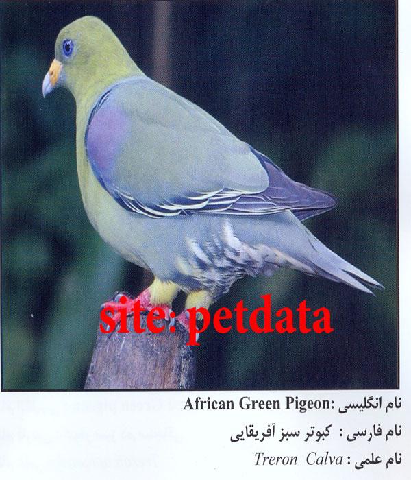 کبوتر سبز کبوتر سبز آفریقایی پت دیتا | آگهی حیوانات خانگی | فروش سگ ...
