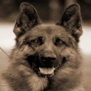 خرید وفروش سگ ژرمن