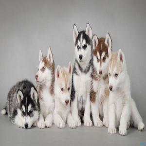 خرید وفروش سگ هاسکی