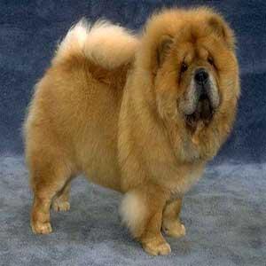 فروش سگ چوچو