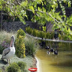 باغ پرندگان  تهران - غاز سیاه