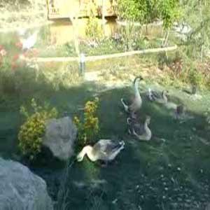 باغ پرندگان  تهران - غاز صدام حسین
