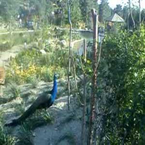 باغ پرندگان  تهران - طاوس